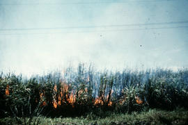 Cane fire (day)