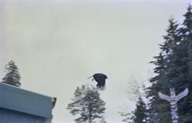 Crow flying between event tent and totem pole