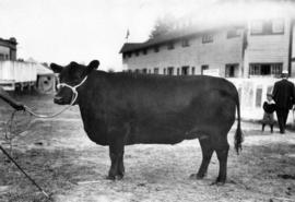 Dark-colored cattle by cattle barn