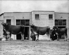 Cattle in a line by Livestock building