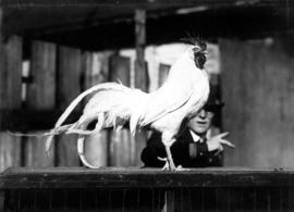 White rooster with long tail feathers in poultry competition