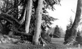 Twisted trunks of maple trees in Stanley Park with house and garden beyond