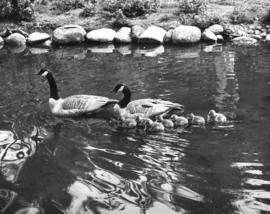 [Geese and goslings in a pond]