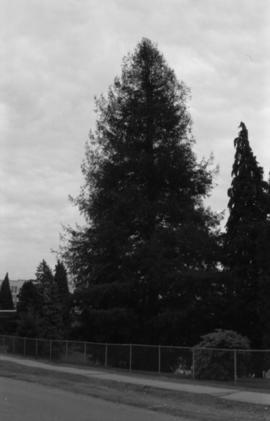 Sequoia sempervirens, Point Grey School