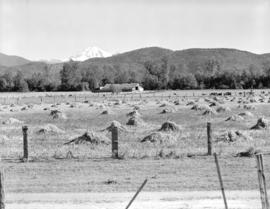 [View of] Mt. Baker [and] grain field near Abbotsford