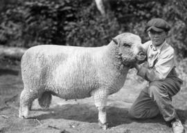Boy with Shropshire ram in sheep competition