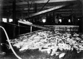 [Fish inside a cannery]