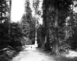 Stanley Park, rough road through forest with person and fallen trees