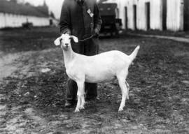 Man with white goat