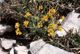 Draba aizoides, Mt. Ventoux summit 8129ft