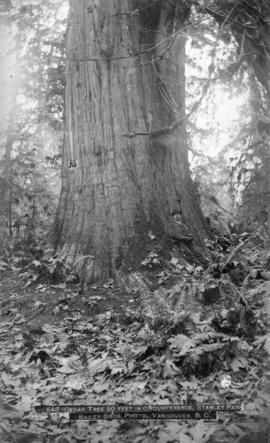[Man leaning against] Cedar tree, 50 ft. in circumference, Stanley Park
