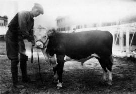 Man with Hereford cattle