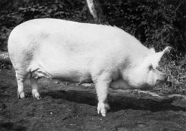 Light-colored swine