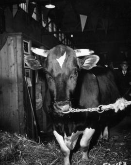 Cattle in Livestock building