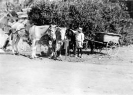 [Ken Taylor with mules at Santa Catalina Island]