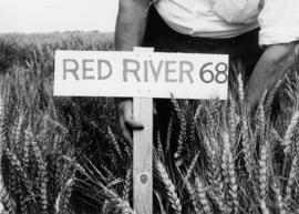Hetherington photo: World seeds red river wheat