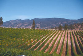 Cultural Practices : vineyards, Okanagan