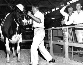 Holstein cattle during livestock auction