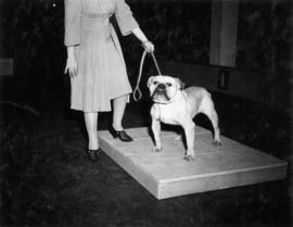 Bulldog on platform being shown at exhibition all-breed dog show