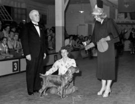 Award being presented at Exhibition dog show [Field Spaniel?]