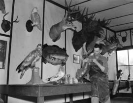 [Interior of John Lestin's] taxidermist [shop], Prince George, B.C.