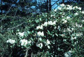 Rhododendron faberi, Omei Shan