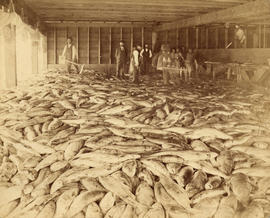 [Interior of Fraser River Salmon Cannery]