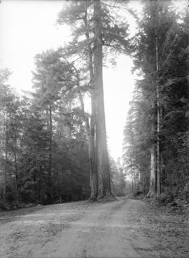 [Road around tree in Stanley Park]