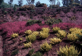 Calluna searlei aurea and mixed heathers