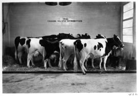 Group of [Holstein?] cows in Livestock building