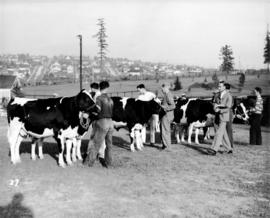 Cattle being judged with city visible in background