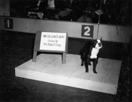International champion Long's Brat, owned by Mrs. Walter D. Long