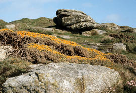 Ulex europaeus [at] Land's End