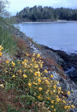 Mimulus on cliffs, Pacific Rim