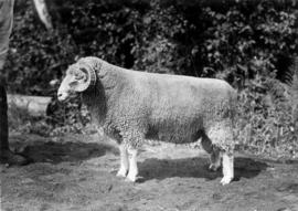Dorset Horn ram in sheep competition