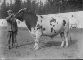 Cattle show at the Vancouver Exhibition