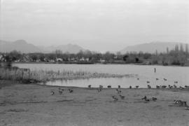 Ducks at Trout Lake