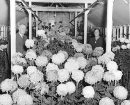[Alderman and Mrs. Charles Jones in their chrysanthemum filled greenhouse]