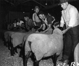 Line of men and sheep, likely in livestock competition
