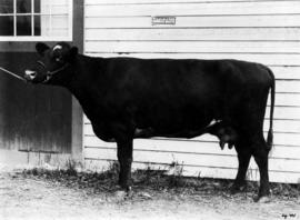 Dark-colored Shorthorn by cattle barn
