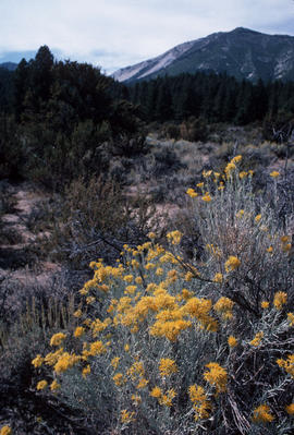 Chrysothamnus : rabbit bush?, landscape near Reno