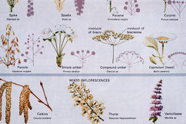 Botany - Seeds : inflorescence types