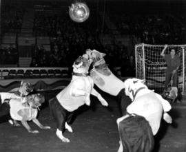 Dogs playing soccer in Moscow Circus performance