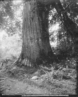 Cedar tree 50 Feet in Circumference, Stanley Park, Vancouver, B.C.