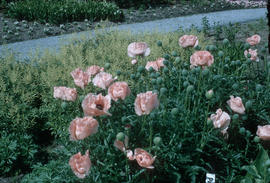 Papaver orientalis : Poppies [at] Stanley Park