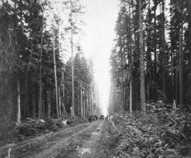 [Horse-drawn wagons on North Arm Road (Granville Street) through the forest (near 37th Avenue)]