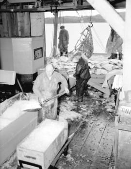 [Men] packing fish in ice, Prince Rupert (B.C.)
