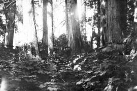 """Big trees"" on the C.N.R. [Canadian National Railway] in B.C."