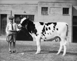 Boy with black-and-white cattle by Livestock building