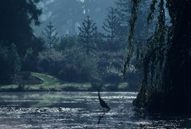 Wildlife : Great Blue Heron, South hemisphere Garden, acorss Heron Lake